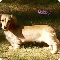 Adopt A Pet :: Galaxy - Nanuet, NY