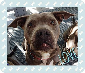 American Pit Bull Terrier Dog for adoption in Rancho Cucamonga, California - Willow