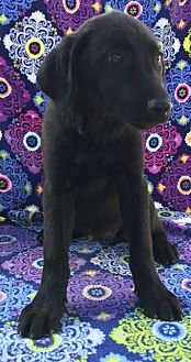 Labrador Retriever Mix Puppy for adoption in East Hartford, Connecticut - Amber