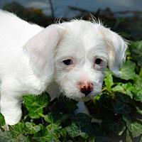 Terrier (Unknown Type, Medium) Mix Puppy for adoption in Denver, Colorado - Snow