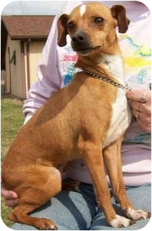 Chihuahua/Miniature Pinscher Mix Dog for adoption in North Judson, Indiana - Ahab
