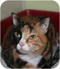 Domestic Shorthair Cat for adoption in Marietta, Georgia - Sweetie