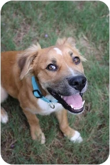 Golden Retriever/Collie Mix Puppy for adoption in Hagerstown, Maryland - Benton