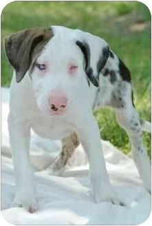 Catahoula Leopard Dog Mix Puppy for adoption in Madison, Wisconsin - Finn