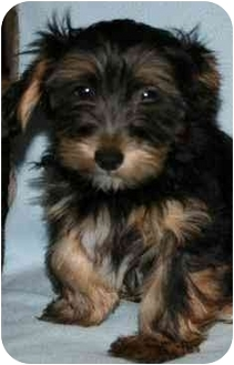 Chinese Crested/Yorkie, Yorkshire Terrier Mix Puppy for adoption in House Springs, Missouri - Chino
