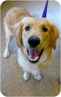 Golden Retriever/Poodle (Standard) Mix Puppy for adoption in Portland, Oregon - Rosie - doodle