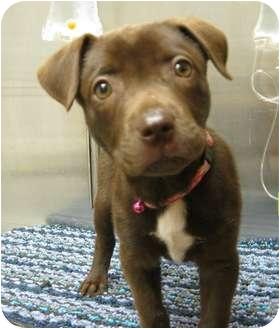 Labrador Retriever/Pit Bull Terrier Mix Puppy for adoption in Houston, Texas - Alexa