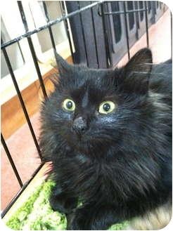 Domestic Mediumhair Kitten for adoption in Audubon, New Jersey - Polly
