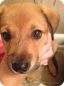 German Shepherd Dog Mix Puppy for adoption in Oakville, Connecticut - Phebie