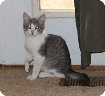 American Shorthair Kitten for adoption in Foster, Rhode Island - Harold