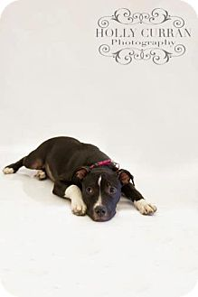 American Pit Bull Terrier Mix Dog for adoption in Clarksburg, Maryland - Asia