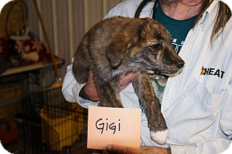 Catahoula Leopard Dog/Border Collie Mix Puppy for adoption in Conway, Arkansas - GiGi