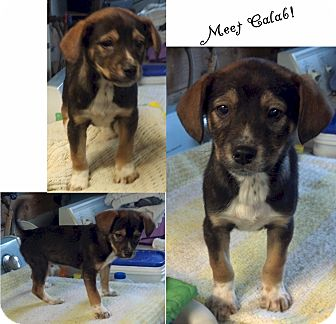 Jack Russell Terrier/Beagle Mix Puppy for adoption in Delaware, Ohio - Caleb