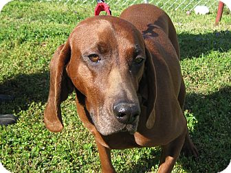 Redbone Coonhound Dog for adoption in Harrisonburg, Virginia - Ruby