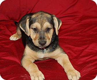 Beagle/Finnish Spitz Mix Puppy for adoption in Chula Vista, California - Cody