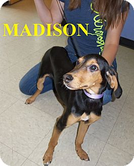 Coonhound (Unknown Type) Mix Puppy for adoption in Franklin, North Carolina - MADISON
