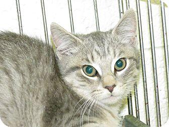 Domestic Shorthair Cat for adoption in Henderson, North Carolina - Emma
