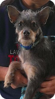 Terrier (Unknown Type, Small)/Chihuahua Mix Dog for adoption in Brownsville, Texas - Dewey