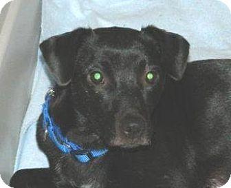 Labrador Retriever Mix Dog for adoption in Conesus, New York - Ava