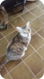 Domestic Shorthair Cat for adoption in Tucson, Arizona - Latte