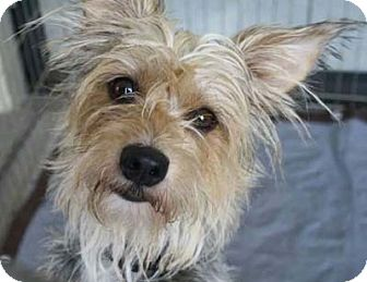 Yorkie, Yorkshire Terrier/Silky Terrier Mix Dog for adoption in Salt Lake City, Utah - ABBEY
