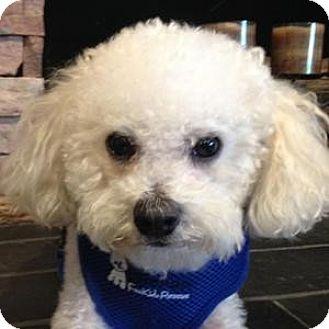 Bichon Frise Mix Dog for adoption in La Costa, California - Bailey