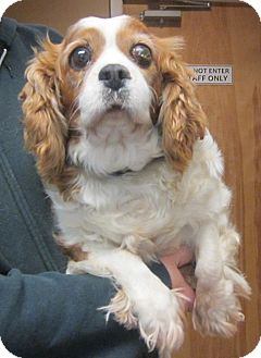 Cavalier King Charles Spaniel Dog for adoption in Oak Ridge, New Jersey - Donna