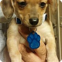 Adopt A Pet :: Carson - Golden Valley, AZ