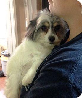 Papillon/Maltese Mix Dog for adoption in McDonough, Georgia - Cecelia
