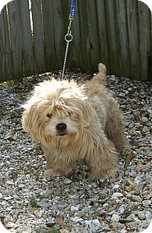 Lhasa Apso/Cockapoo Mix Dog for adoption in Englewood, Florida - Alden