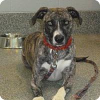 Adopt A Pet :: Izzie - Medford, MA