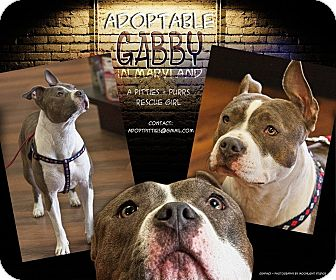 American Pit Bull Terrier/Boston Terrier Mix Puppy for adoption in Baltimore, Maryland - Gabby