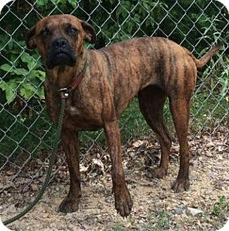 Boxer Mix Dog for adoption in Plainfield, Connecticut - Roxy