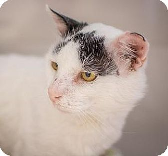 Turkish Van Cat for adoption in Truckee, California - Wilson