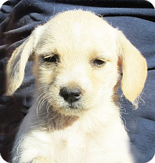Terrier (Unknown Type, Small)/Dachshund Mix Puppy for adoption in Poway, California - Hazel
