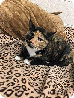 Domestic Shorthair Cat for adoption in Twin Falls, Idaho - Fiona