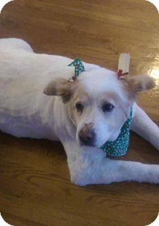 American Eskimo Dog Dog for adoption in Mooresville, North Carolina - SUGAR OF GA