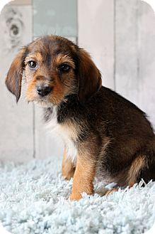 Terrier (Unknown Type, Medium) Mix Puppy for adoption in Waldorf, Maryland - Dublin