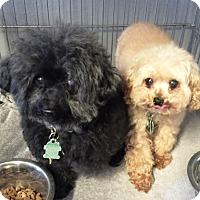 Adopt A Pet :: Anna (And Honey) - Rancho Cucamonga, CA