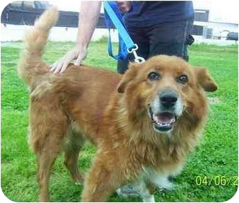 Golden Retriever/Collie Mix Dog for adoption in Freeport, New York - Rusty
