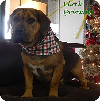 Golden Retriever/Coonhound Mix Dog for adoption in Bucyrus, Ohio - Clark Griswald