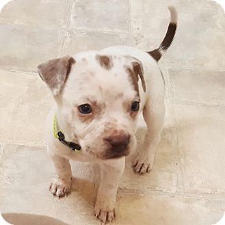 American Bulldog Mix Puppy for adoption in Cairo, Georgia - Hershel