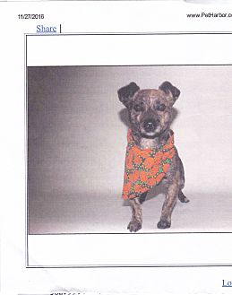 Parson Russell Terrier/Terrier (Unknown Type, Small) Mix Dog for adoption in Lomita, California - Jaxx