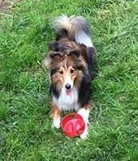 Sheltie, Shetland Sheepdog Mix Dog for adoption in Pittsburgh, Pennsylvania - Jax-ADOPTED