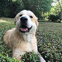 Great Pyrenees/Golden Retriever Mix Dog for adoption in Spring, Texas - Leo