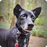 Shepherd (Unknown Type) Mix Dog for adoption in Seattle, Washington - Thelma