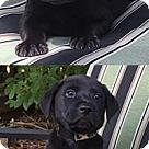 Adopt A Pet :: Ebonies Pepper