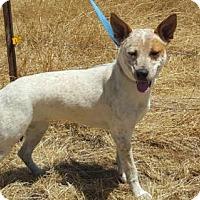 Adopt A Pet :: Dolly - Vacaville, CA