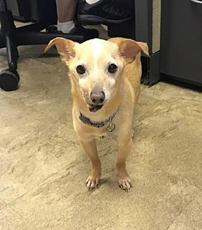 Chihuahua Mix Dog for adoption in Chicago, Illinois - Tanner 3
