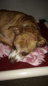 American Pit Bull Terrier Mix Dog for adoption in Clinton, Missouri - Gracie